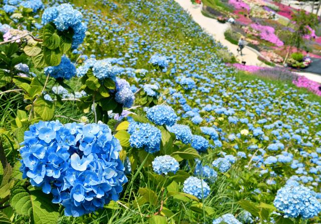 斜面で花をつけたアジサイ=16日午前、兵庫県三木市、水野義則撮影