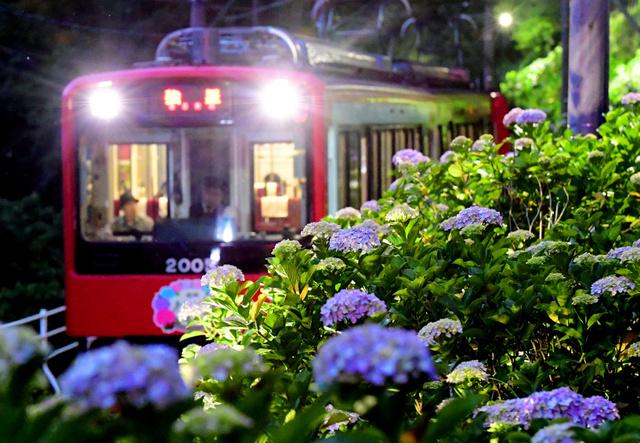 箱根登山電車の沿線を彩るアジサイ。15日夜にはライトアップの報道公開があった=神奈川県箱根町、山本裕之撮影