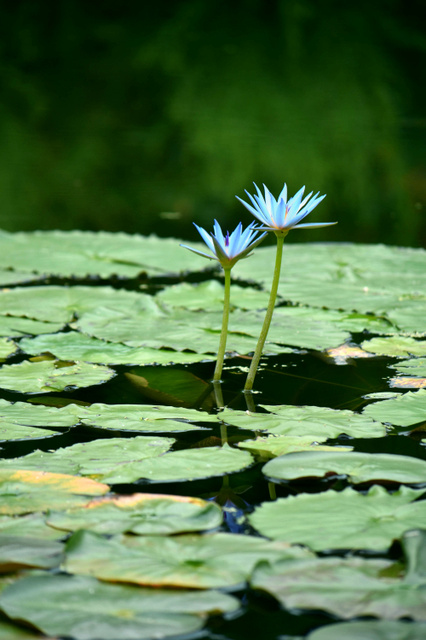 水面に映える青いスイレンの花=北川村野友甲