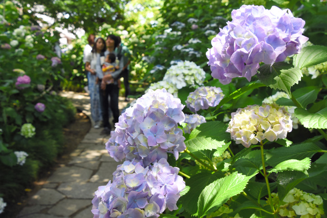 辺り一面にアジサイが咲く「あじさい庭園」。散策する人らでにぎわった=大和郡山市の矢田寺