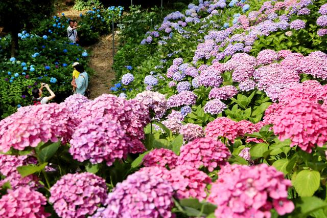 若松あじさい祭りが始まり、多くの人が訪れた=北九州市若松区、金子淳撮影