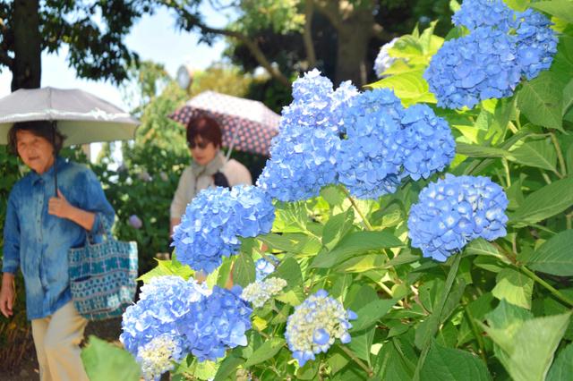 保和苑では、一部のアジサイの花が見頃を迎えていた=水戸市松本町