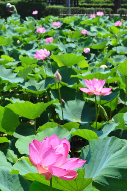 蓮池で咲き誇るハスの花=富士見市下南畑の難波田城公園