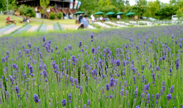 早咲きのラベンダーが淡い紫の花を咲かせている=山辺町玉虫沼農村公園