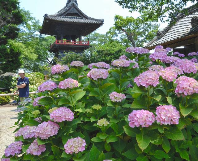 花をつけたアジサイ。今年の花は小ぶりだという=熊谷市永井太田
