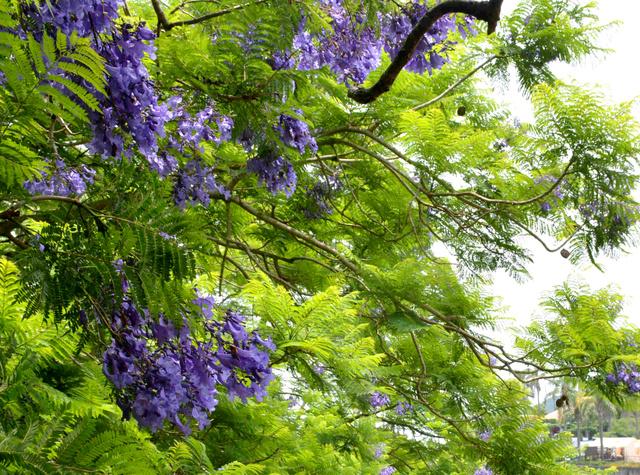 見頃を迎えたジャカランダの花=日南市南郷町贄波