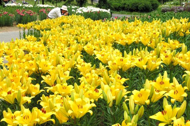 一部の促成栽培のユリは見頃を迎えていた=18日、飯豊町のいいでどんでん平ゆり園