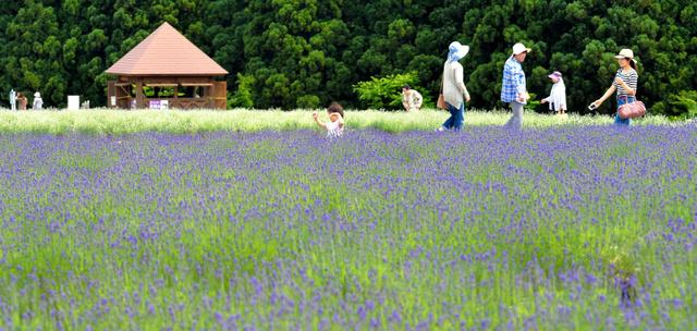 ラベンダー園内で散策を楽しむ人たち。手前が中富良野町から贈られたラベンダーで、奥が「美郷雪華」=美郷町千屋