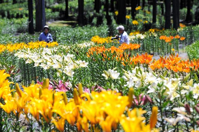 ヒノキの木立を彩るユリの花=揖斐川町谷汲大洞