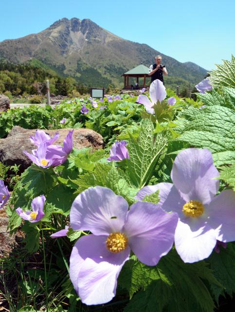 山開きを迎えた日光白根山では、シラネアオイが満開=片品村の日光白根山ロープウェー山頂駅周辺