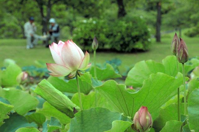 「つがの里」のハスの花=栃木市都賀町臼久保、全日写連横川支部の小林トミ子さん撮影