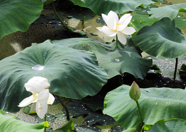 雨に打たれ咲き始めたハスの花は美しい=鳴門市大津町