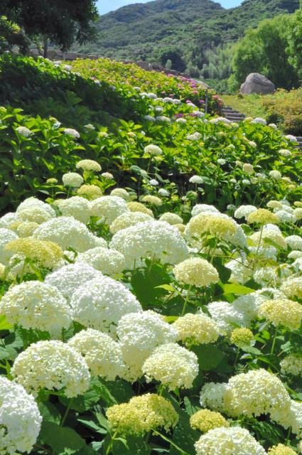 色とりどりに咲くアジサイ=淡路市の淡路島国営明石海峡公園