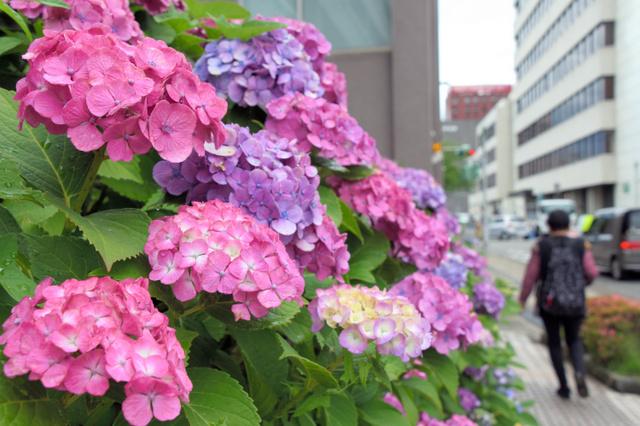 梅雨の時期に彩りを添えるアジサイ=福井市大手3丁目
