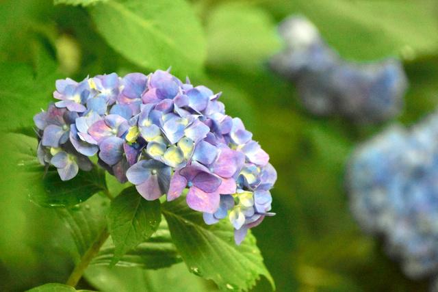 梅雨入り初日の雨にぬれたアジサイの花=金沢市