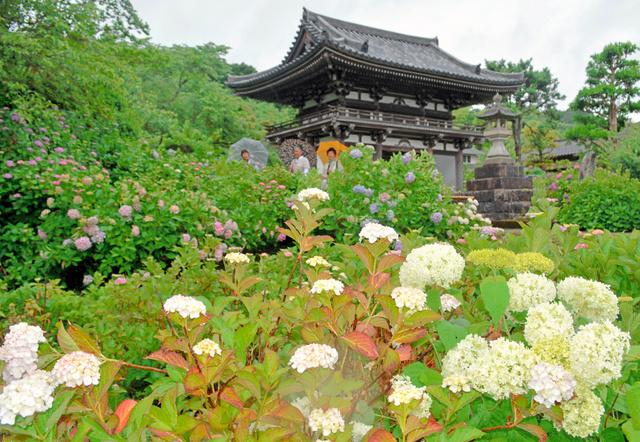 見頃を迎えたアジサイ=福知山市観音寺