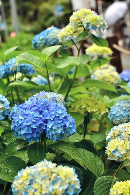 岩手公園の鶴ケ池のほとりで咲き始めたアジサイ。青く色づいたものもあった=盛岡市内丸