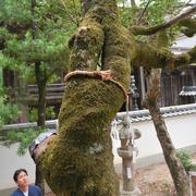 別れても、また巡りあう? 「連理」の木、神社で確認