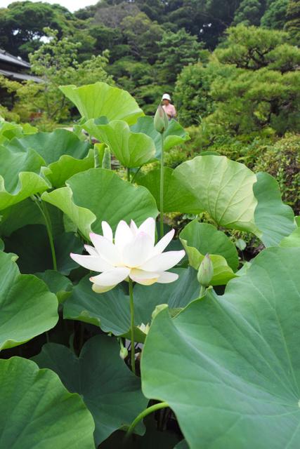 今年も花を咲かせた孫文蓮=下関市、全日写連谷山昇さん撮影
