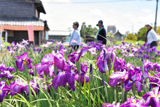住民手作りのショウブ園に咲いたハナショウブ=高島市今津町浜分