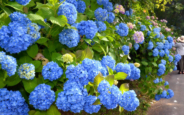 色鮮やかに咲きそろったアジサイ=真庭市田原山上