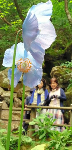 冷風が噴き出す「風穴」の前で咲く青いケシ=東温市上林
