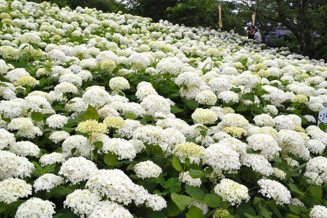 見ごろを迎えたアナベル種の白い花