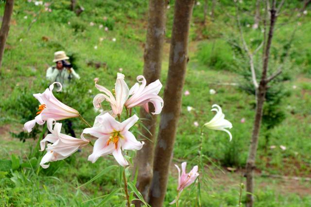 21日の風雨に耐え、かれんな花を咲かせるササユリ=南伊豆町天神原の天神原植物園
