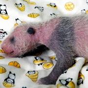 パンダの赤ちゃん、メスと判明 上野動物園