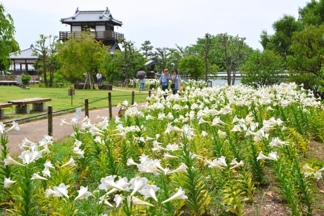 池田城跡公園で咲くテッポウユリ=池田市城山町