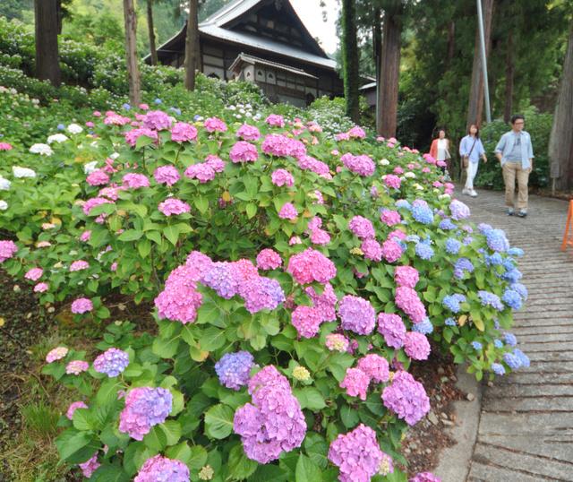 境内の坂道で花を開いたアジサイ=富士川町小室の妙法寺