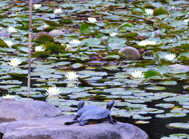 甲羅干しをするカメとスイレンの花=宮崎市阿波岐原町