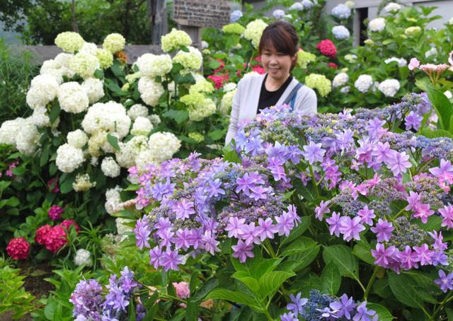 色とりどりのアジサイが咲く円照寺の境内=加古川市志方町広尾