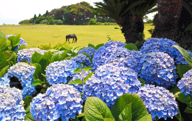 都井岬で見ごろを迎えたアジサイ。そばで野生馬が草をはんでいた