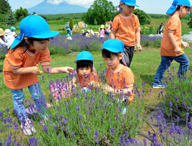 ラベンダーを摘む園児たち=弘前市小沢の市民農園「アグリインホリデー」