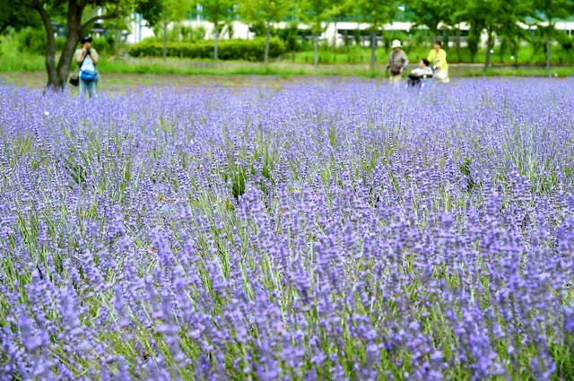 一面に広がるラベンダー=大阪府和泉市の和泉リサイクル環境公園、小林一茂撮影