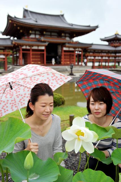 鳳凰堂の対岸で開花した「平等院蓮」=宇治市の平等院