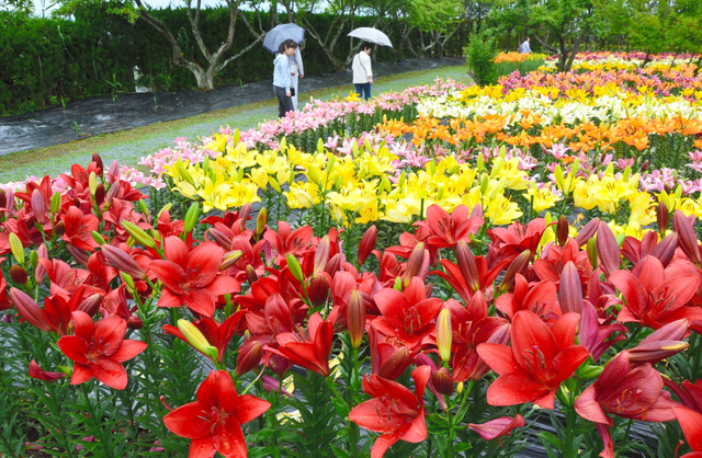 色鮮やかなユリが咲き誇る「玉水ゆり園」=篠山市黒岡
