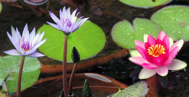 咲き始めた熱帯性の青いスイレン。右は温帯性のスイレン=大塚国際美術館