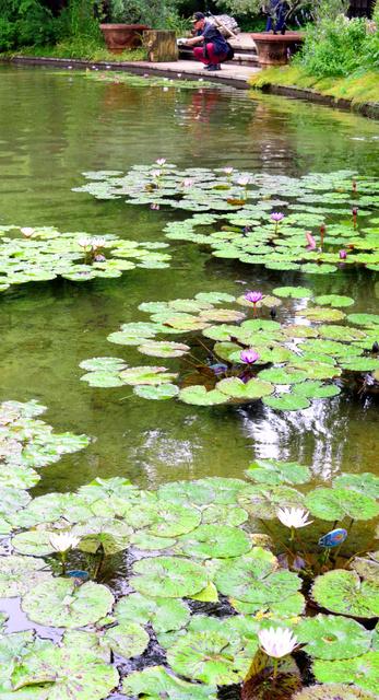 池で咲く熱帯性スイレン=名古屋市中区大須4丁目