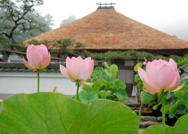 達身寺の門前で咲いたハス=丹波市氷上町清住、藤原成靖さん撮影