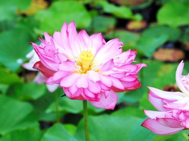 トンボが飛び交う池でひときわ目立つチャワンバスの花=四万十市具同のトンボ自然公園