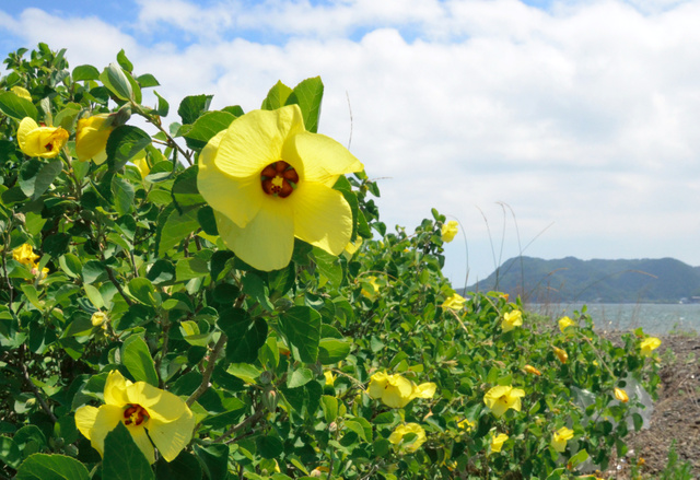 海辺で黄色い花を咲かせたハマボウ=洲本市由良町由良の成ケ島