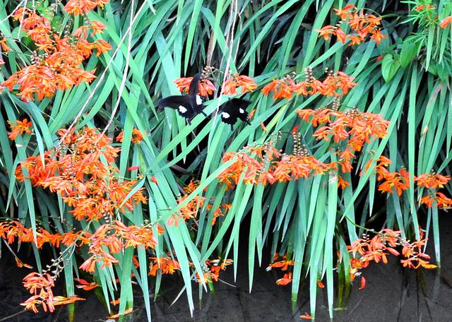 川岸を朱色に染めるヒメヒオウギズイセンの花=四万十市田野川乙