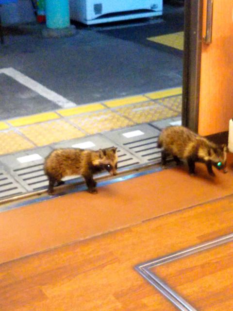 電車に乗り込む2匹の子ダヌキ=京都市左京区、大西健幸さん撮影