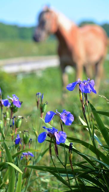 緑の湿原にヒオウギアヤメの花が映える。近くで放牧された馬がくつろいでいた=根室市の北方原生花園、神村正史撮影
