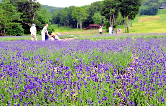 標高1300メートルの高原を紫に染めるラベンダー=沼田市の玉原高原