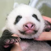 パンダの赤ちゃん、目うっすらと開く 上野動物園
