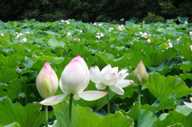 かれんな花を咲かせたハス=南あわじ市北阿万伊賀野、全日写連里口寿信さん撮影