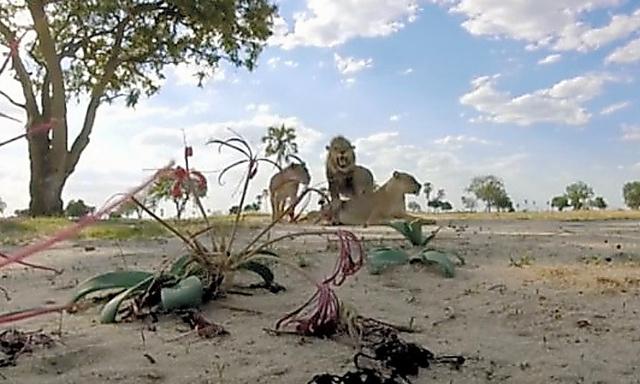 ジンバブエ西部のワンゲ国立公園で2016年1月、他のライオンとともに姿を見せたゼンダ(中央)=ロイター